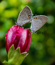 Butterfly Mating On Flower Bud.