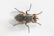 Top View Macro Shot Of Fly Isolated On White Background. Top Down View Of Red Eyed Insect From Above. Focused On Wings. Animals And Insects Concept.