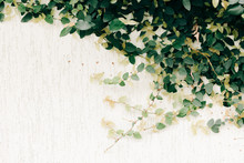 Natural Background Of Green Ivy On A White Wall