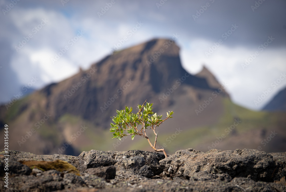 Fototapeta Strong tiny tree on the Volcanic landscape. Iceland, Laugavegur hiking track, concept of desire, willpower and strength