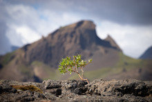 Strong Tiny Tree On The Volcan...