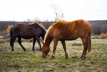 Two Horses Eating Grass, Brown And Black
