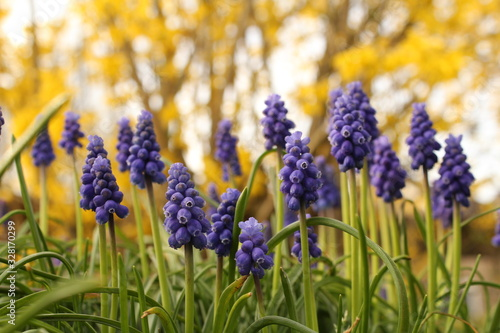 a group blue grape hyacinths in the garden and  yellow forsythia flowers in the Wallpaper Mural
