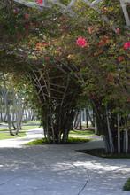 Soundscape Park's Bougainvilleas