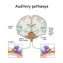 Auditory Pathways From Cochlea...