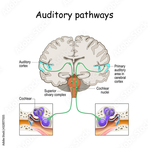 auditory pathways from cochlea in ear to cortex in brain. Canvas Print