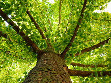 Ginkgo Biloba Tree. Bright Green Leaves And Strong Branches In Perspective View. Herbal Medicine And Homeopathy Concept. Popular Home Remedy And Alternative Medicine In China And Asia.