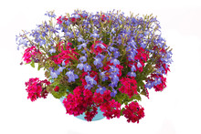Hanging Basket Full Of Lobelia...