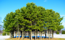 Several Pine Trees In The Blu...