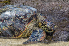 Large Green Sea Turtle Resting...