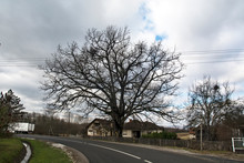 Old Oak Next To The Road
