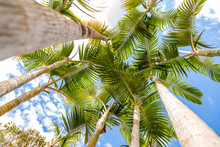 Palm Trees Seen From Below Wit...