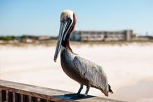 Pelican On Fishing Pier In Gul...