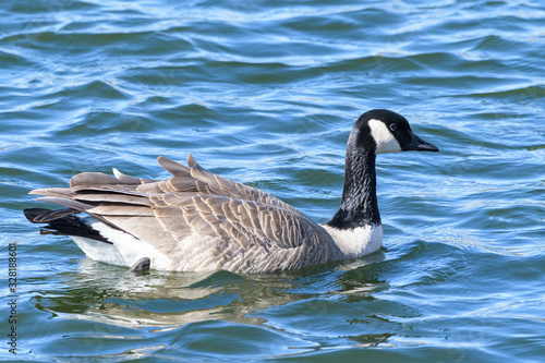 Common waterfowl of Colorado. Canada Goose swimming in a lake.