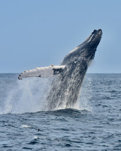 A Humpback Whale Jumps Out Of ...