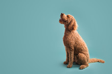 Dog On Colored Background Look...