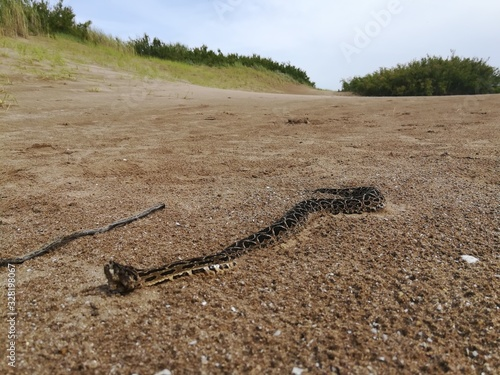 Photo Yarará (Bothrops alternatus) recorriendo la arena en una playa entre dunas y pas