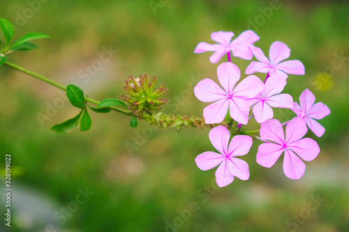 Photo Delicate pale pink flox flowers on a single green twig, with soft green background, offset