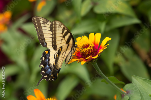 Obraz na plátně Swallowtail butterfly on vividly stunning Yellow Flame Zinnia flower