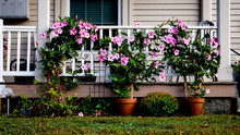 The Pink Flowers On The Porch