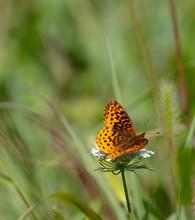 Meadow Fritillary On Flower