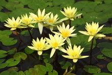Yellow Lotus Flower Blossom In...
