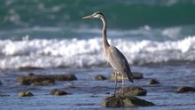 Great Blue Heron Standing In T...