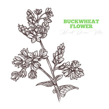 Sketch Vector Buckwheat Flower Sprig.  Floral Vintage Engraving Hand Drawn Style Illustration. Honey Plant Drawing Isolated On White Background