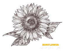 Vector Sketch Engraving Sunflo...