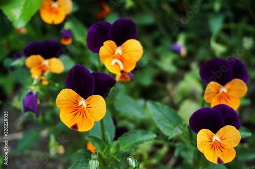 Fototapety, obrazy: Beautiful colorful pansy blooming flowers glowth in the garden