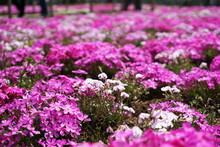 Blooming Shibazakura Pink Moss Flower Garden