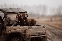 Two Brown German Shorthaired P...