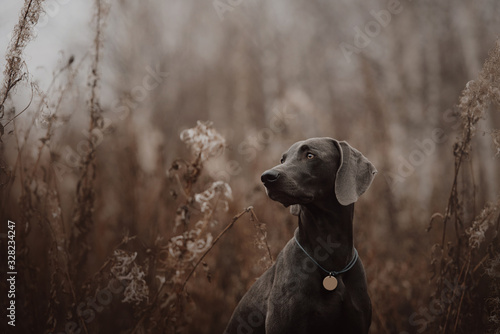 adorable weimaraner dog sitting outdoors in autumn