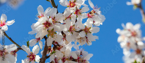 Spring blooming. White almond flowers closeup, blur background Canvas Print