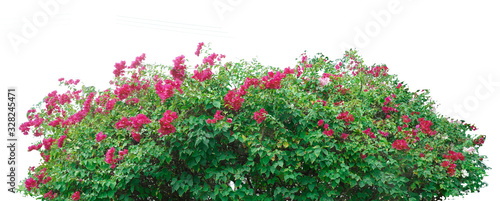 Leinwand Poster Flower vine bush tree isolated t on white background.