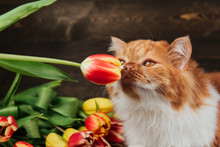 Fluffy Ginger Cat Sniffs A Red Tulip. Cat On A Background Of Spring Flowers.