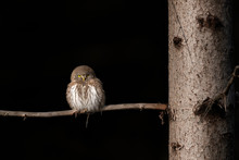 Eurasian Pygmy Owl (Glaucidium Passerinum) Warms Up In Morning Sun.