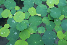 Background Of Green Lotus Leaves