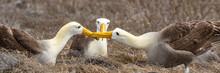 Galapagos Albatross Aka Waved ...