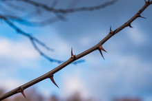 A Branch With Many Thorns, Tho...