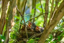 Amselküken Im Nest Warten Mit Geöffneten Schnäbeln Auf Futter