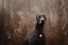 Weimaraner Dog With A Collar A...