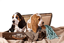 Two Basset Hound Puppies Sitti...