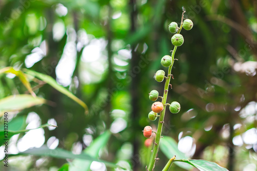Seed pods or fruits on the bunch of Bustard cardamom, Tavoy cardamom (Amomum Vil Wallpaper Mural