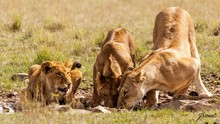 Manada De Leonas Devorando A Su Presa En La Sabana Africana Durante Un Safari Por Kenia