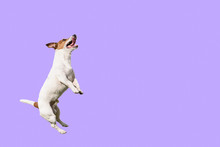 Active And Agile Dog Jumping High On Solid Color Purple Background