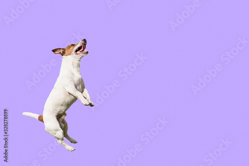Active and agile dog jumping high on solid color purple background © alexei_tm