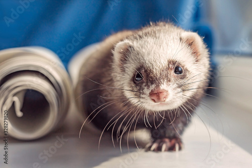 Fotografering Cute curious domestic ferret pet hunts on the windowsill, animal protection, sun