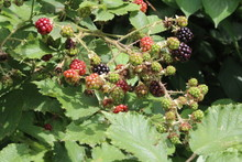 Ripening Blackberries In Summe...