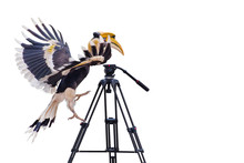 Great Hornbill Stand On Tripod...